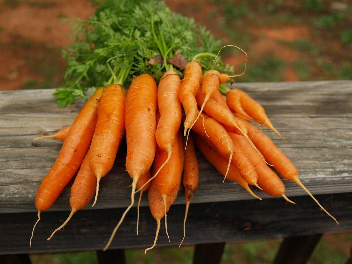 этом морковь которую сильно поливали фото случае положительного